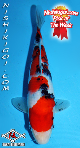 What s new online koi auctions for Champion koi ponds