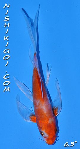 Auctions longfin online koi auctions for Long fin koi